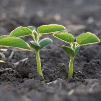 Emerging soybean plant2